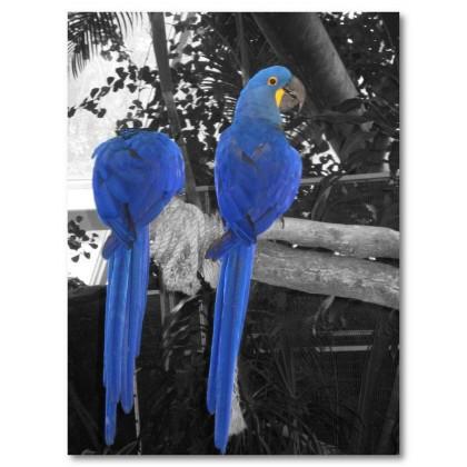 Αφίσα (παπαγάλοι, μπλε, πουλί, ζώο)